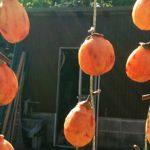 庭の柿が大豊作!