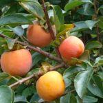 今年も庭の柿の木に沢山の柿がなりました。