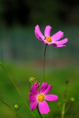 ペンションの庭に咲くコスモス