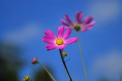ペンションの庭に咲くコスモス2