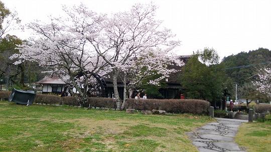 原尻の滝の桜