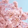 大山町内の桜、各地で見頃!